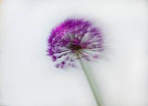 Agapanthas-Flower-Photo-Course_120-%C2%A9-Nick-Gregan-300x215.jpg
